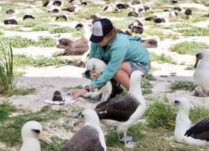 Midway Island Albatross tagging