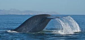 Whale safe ship strikes Santa Barbara Channel fluke