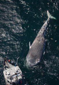 Whale safe ship strikes Santa Barbara Channel dead whale