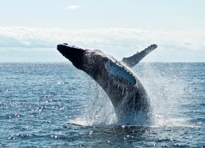 Whale safe ship strikes Santa Barbara Channel humpback