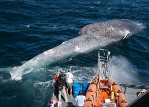 Whale safe ship strikes Santa Barbara Channel blue whale