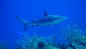 shark sanctuary Bahamas MPA