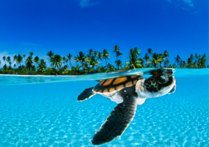 Turtle hatchling, Bahamas, David Doubilet, Behind the lens, Oceanographic Magazine, Issue 17