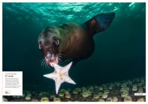 Sea lion, Canada, Oceanographic Magazine, Issue 17, wolf mother