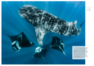 Whale shark, manta rays, Isla Mujeres, Mexico, Oceanographic Magazine, Issue 17