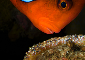 Clownfish and eggs, David Doubilet, Behind the lens, Oceanographic Magazine, Issue 17