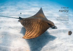 Ornate eagle ray, Ningaloo reef, Australia, Oceanographic Magazine, Issue 17