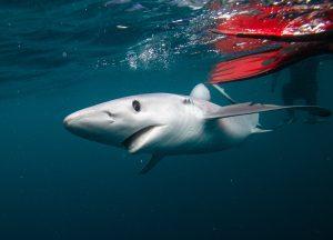 Celtic Deep Pembrokeshire marine megafauna