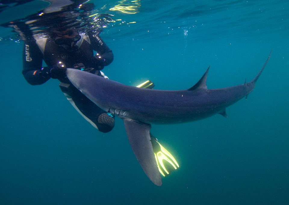 Celtic Deep Pembrokeshire blue shark