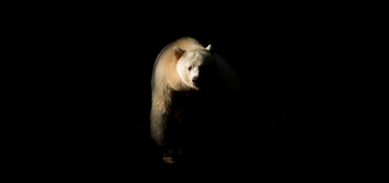 Richard Sidey Galexiid spirit bear