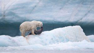 Richard Sidey Galexiid polar bear