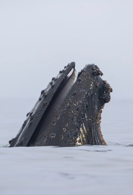 Richard Sidey Galexiid humpback whale