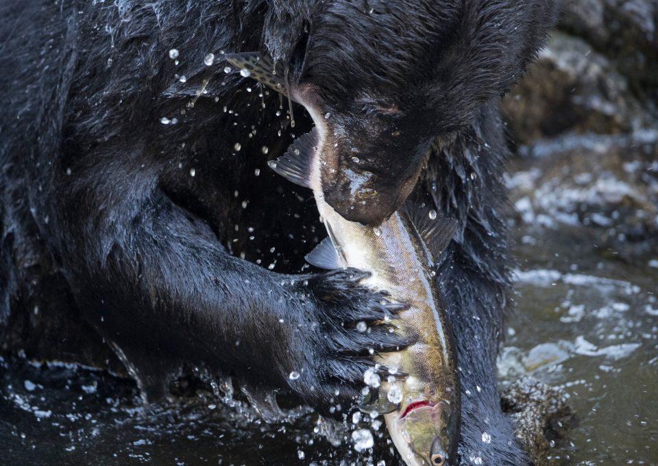 Richard Sidey Galexiid black bear