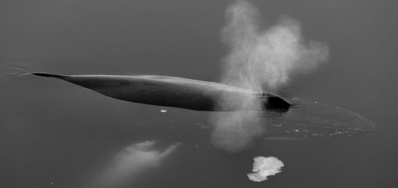 Richard Sidey Galexiid whale