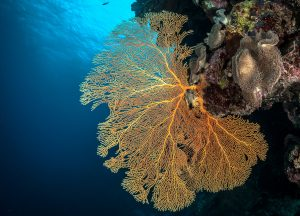 osprey reef coral sea