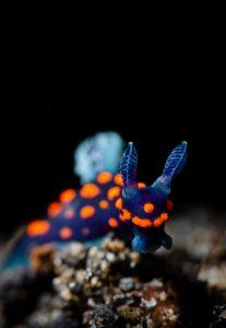 Erik Lucas nudibranch Indonesia