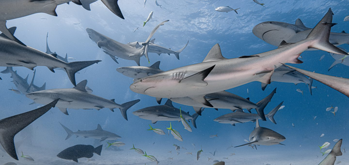 Bahamas reef sharks