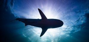 underwater photo sharks