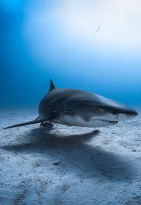 Bahamian shark dive