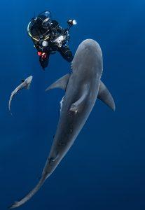 Hanan Atia shark and diver