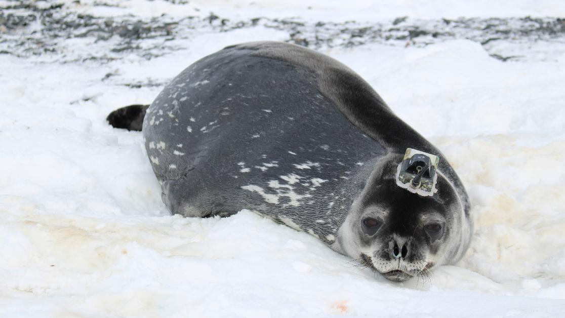Antarctica seal meltwater