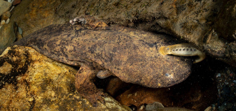 freshwater hellbender
