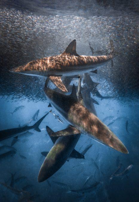 sharks australia