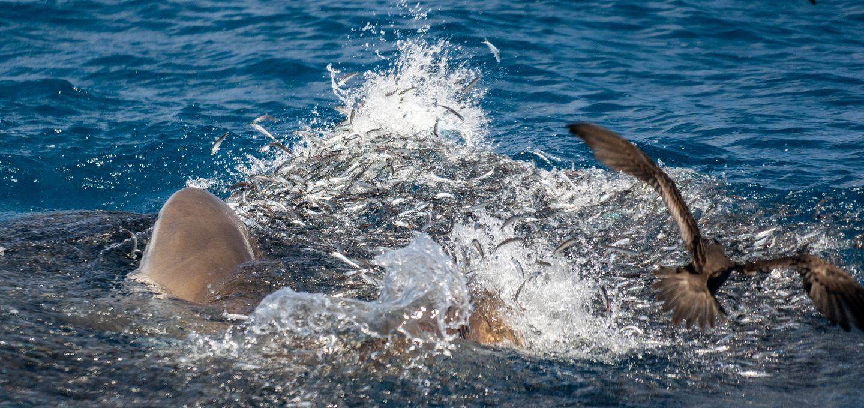 sharks feeding