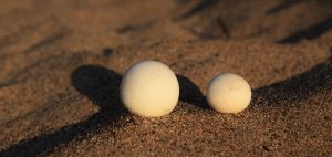 turtle eggs