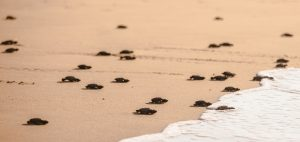turtle conservation covid-19