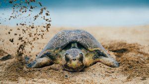 turtle nesting covid-19