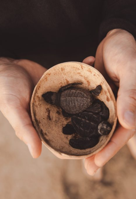 turtle conservation covid-19 programme