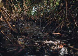 mangroves oil spill