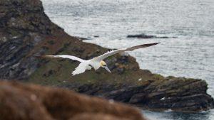 scotland seabirds