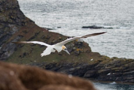 scotland seabirds