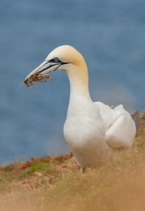troup head gannet colony