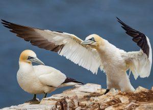 Scotland gannets