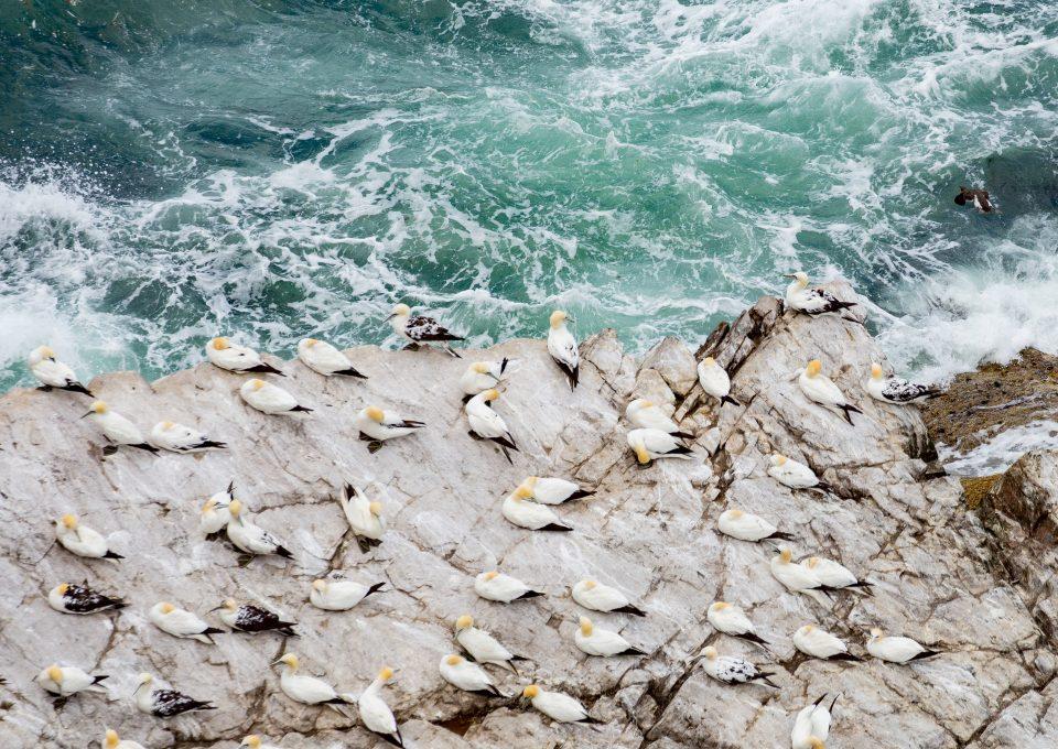 troup head gannet colony