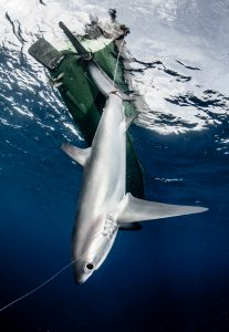 shark fishing indonesia