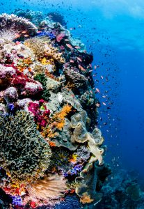 coral reef indonesia alor