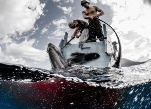 thresher sharks indonesia alor