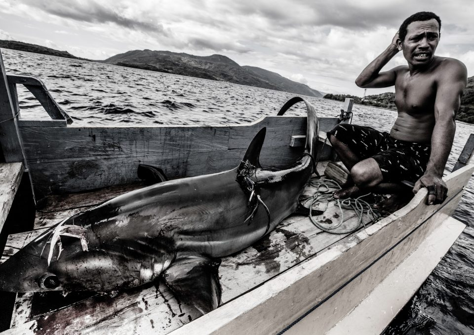 thresher shark indonesia alor fisher