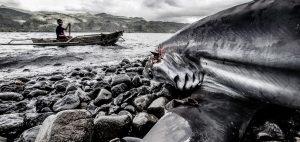 finning thresher sharks