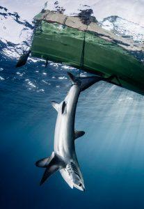 fishing thresher sharks