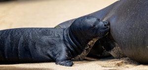 Lōli'i monk seal
