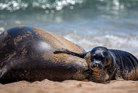 Lōli'i monk seal pup