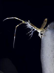 Antarctic krill, John Weller