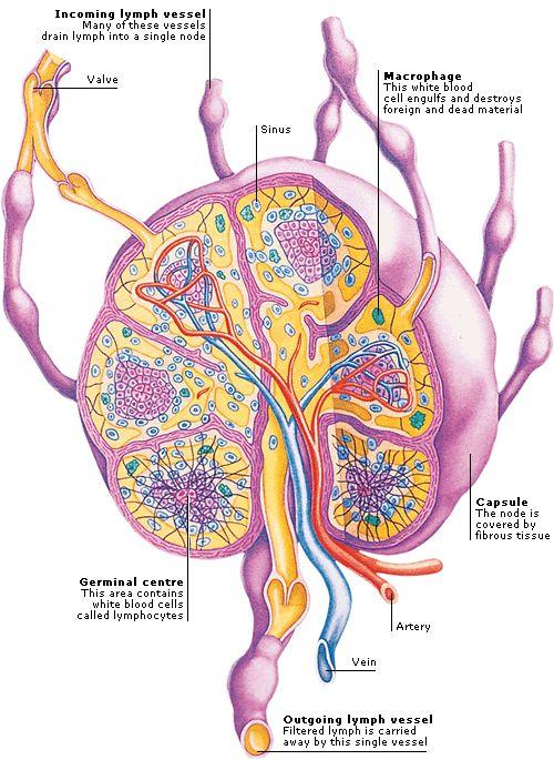 Строение лимфоузлов брюшной полости