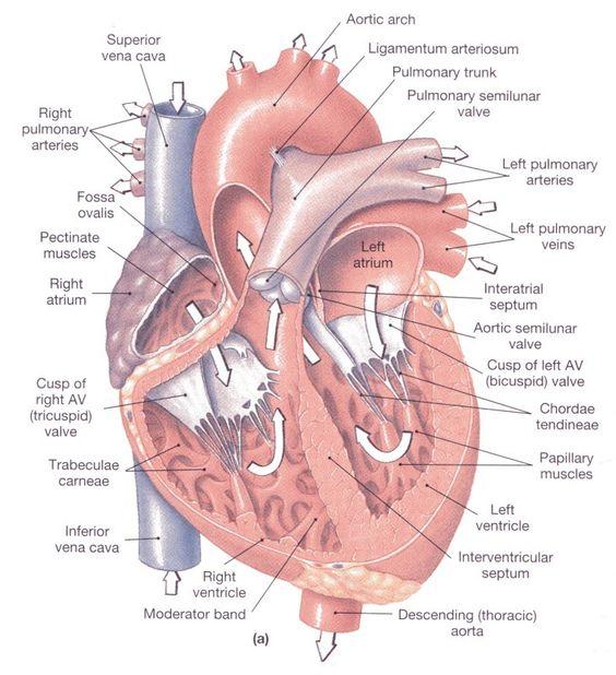 Строение сердца МРТ