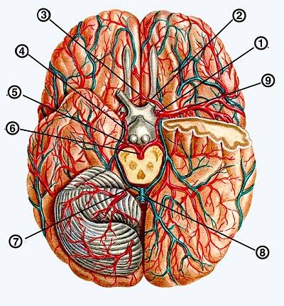 Снимки МРТ и КТ. Варианты сосудистой анатомии
